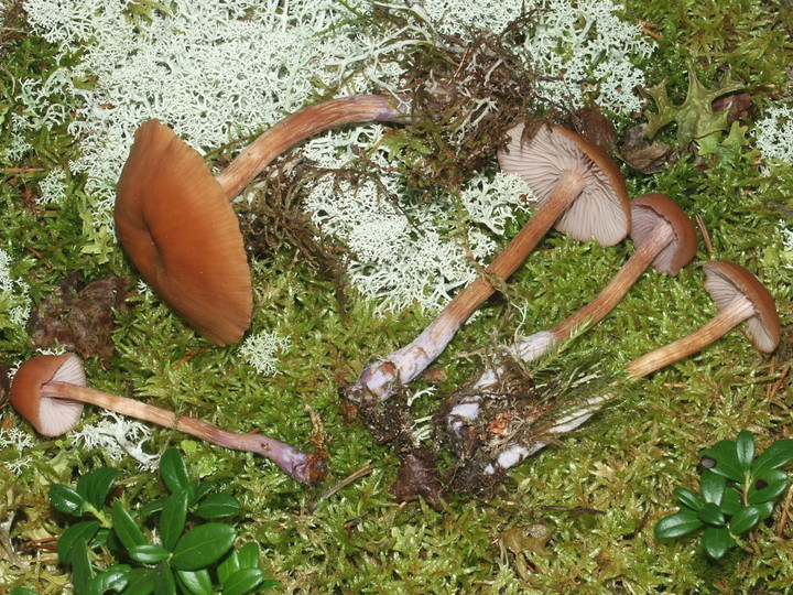Laccaria bicolor