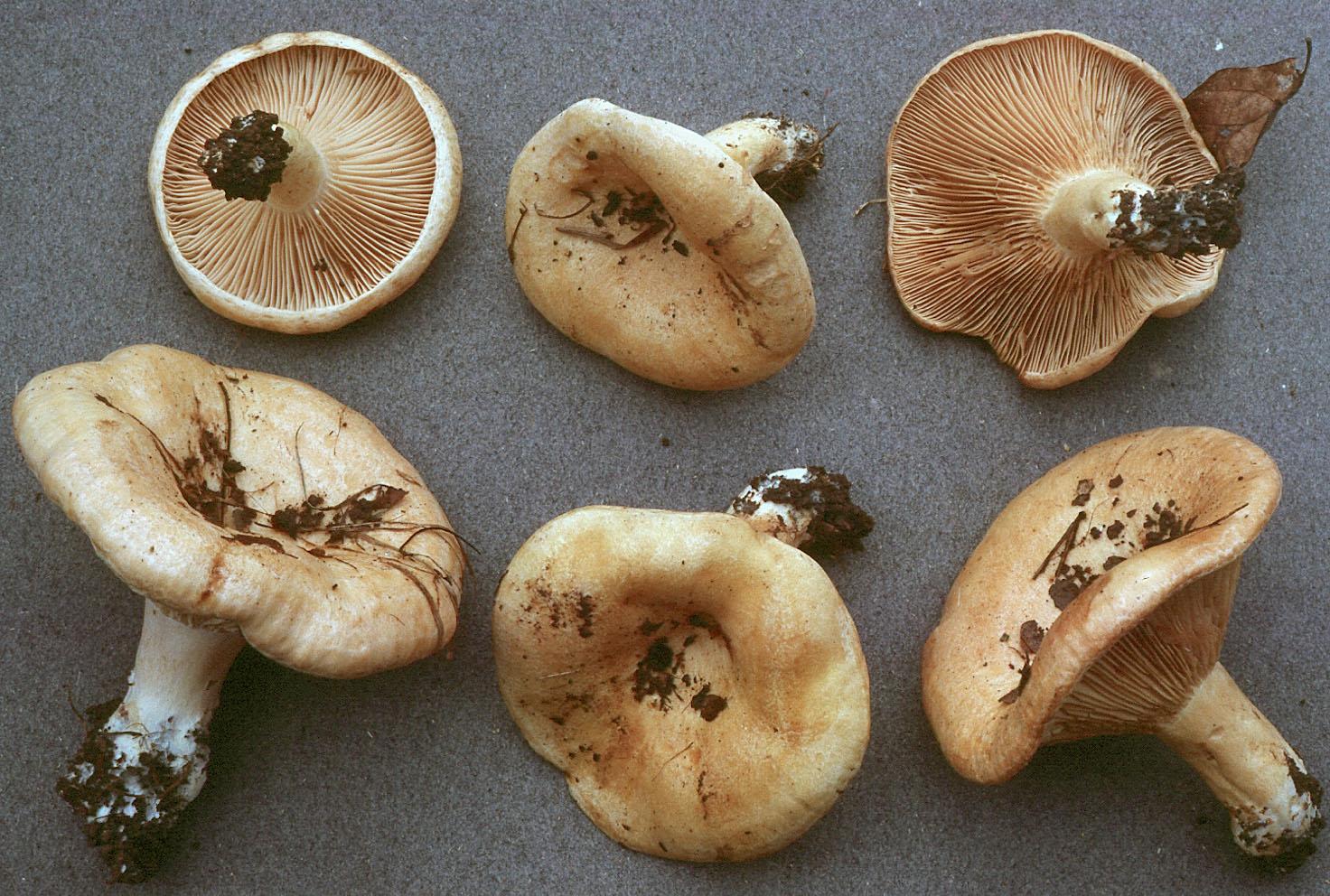 Lactarius acerrimus