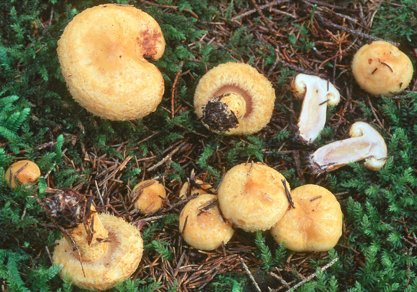 Lactarius repraesentaneus