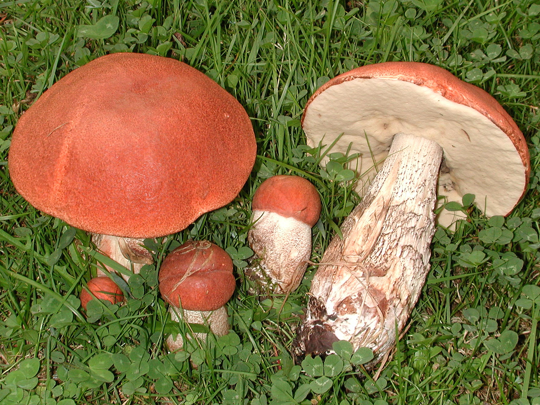 Leccinum aurantiacum