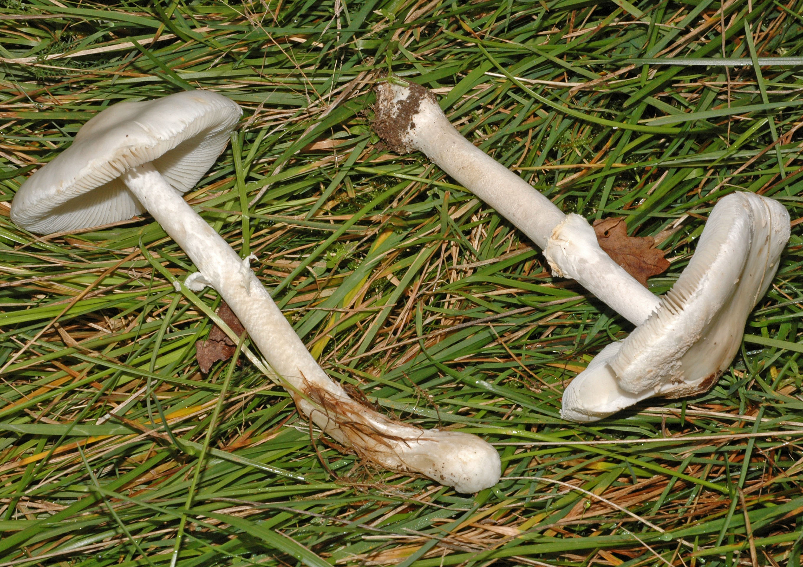 Leucoagaricus cretaceus