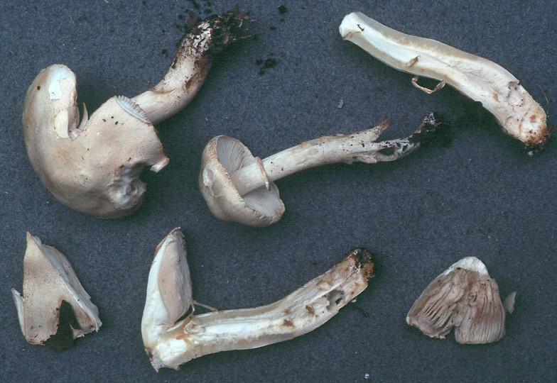 Leucoagaricus cretaceus