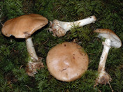 Leucocortinarius bulbiger