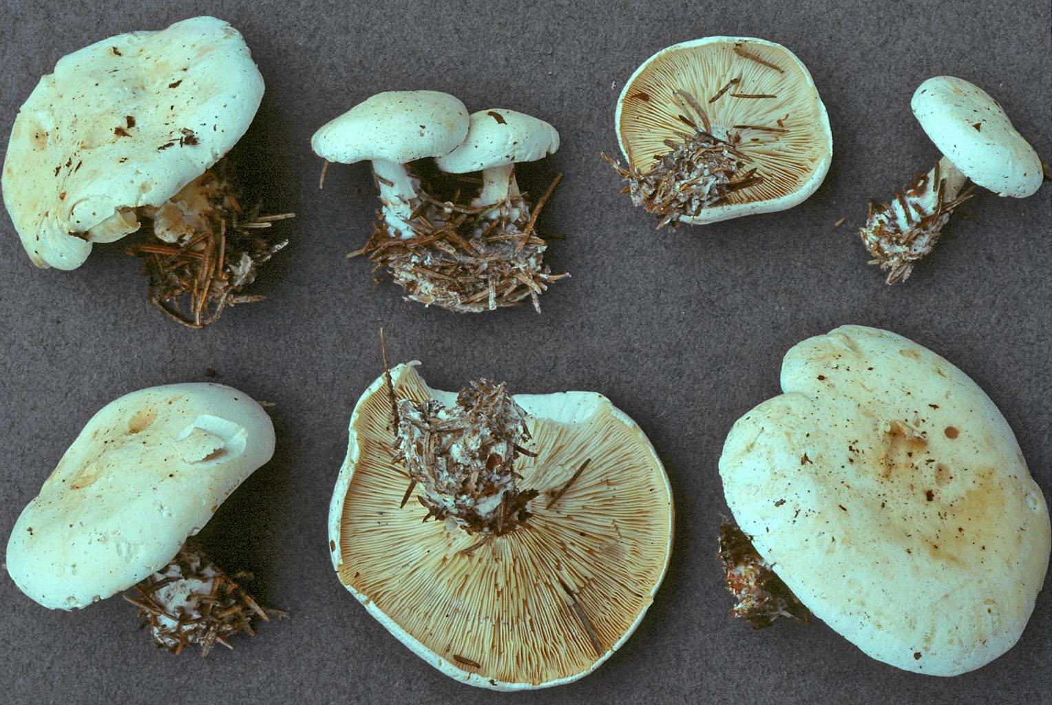 Leucopaxillus alboalutaceus