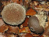 Lycoperdon echinatum
