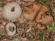 Lyophyllum semitale