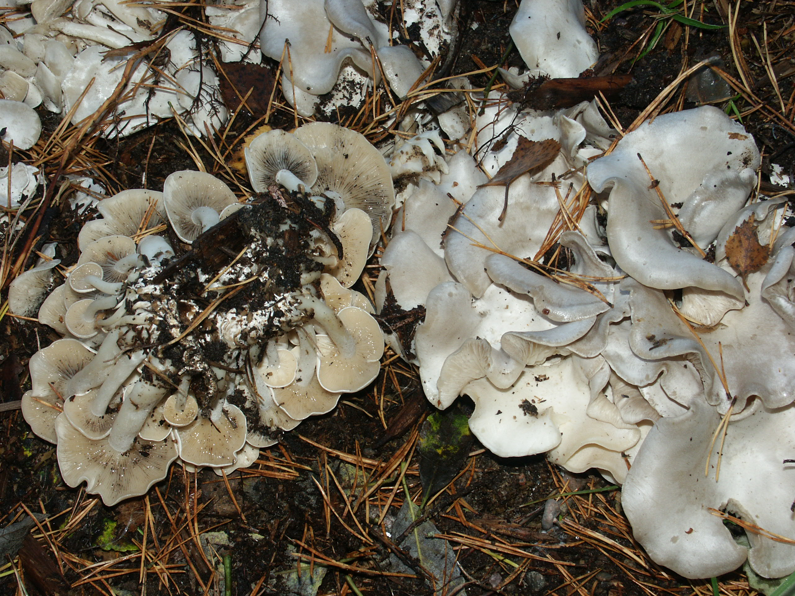Lyophyllum connatum
