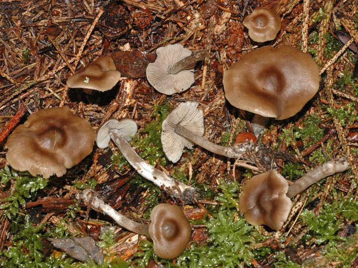Lyophyllum confusum