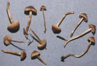 Lyophyllum tylicolor