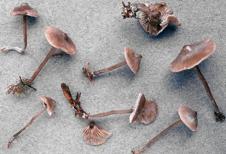 Lyophyllum ambustum