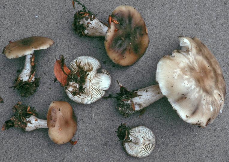 Lyophyllum infumatum