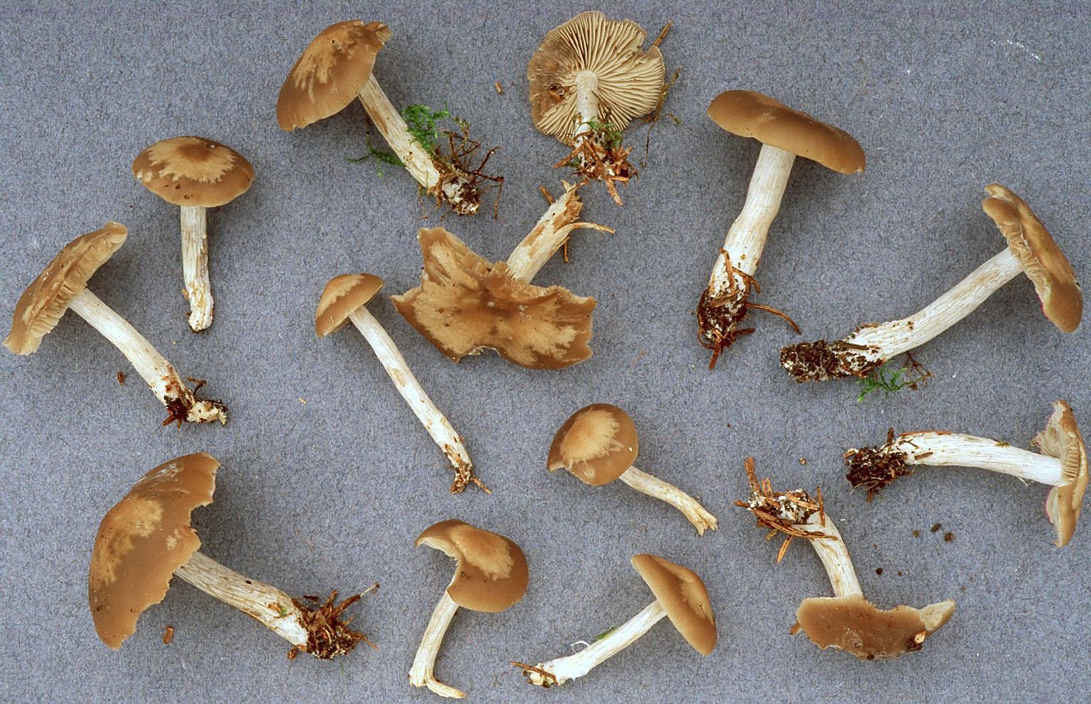 Lyophyllum putidum