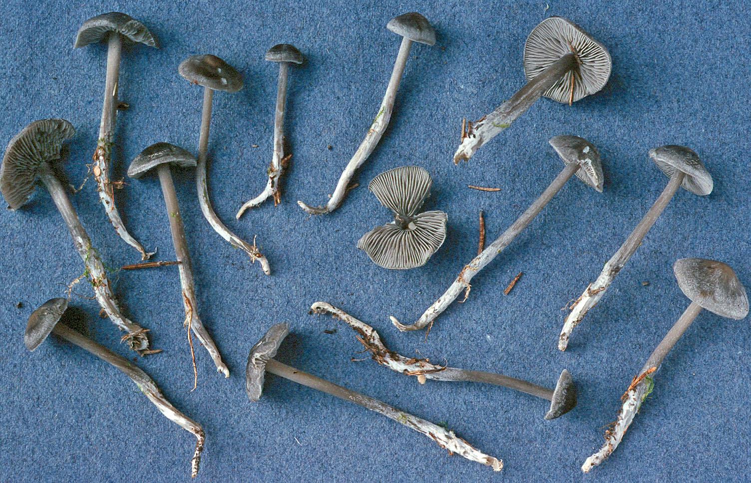 Lyophyllum rancidum