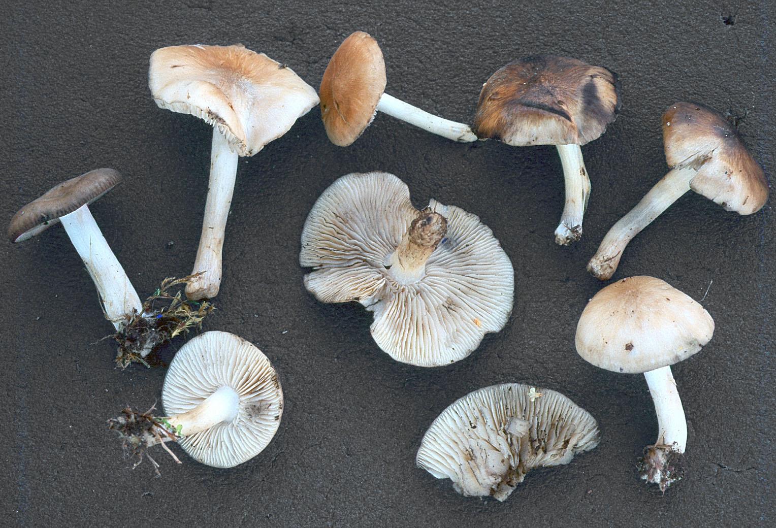 Lyophyllum immundum