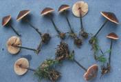 Macrocystidia cucumis