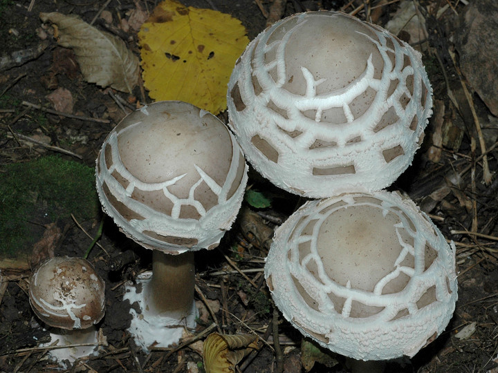 Macrolepiota rhacodes var. bohemica