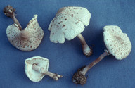 Macrolepiota konradii