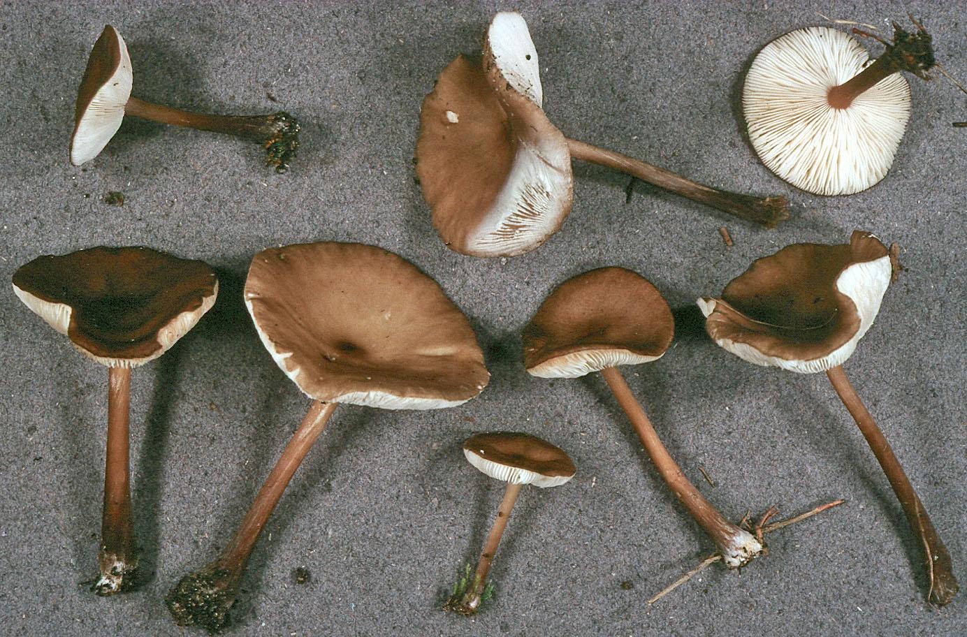 Melanoleuca stridula