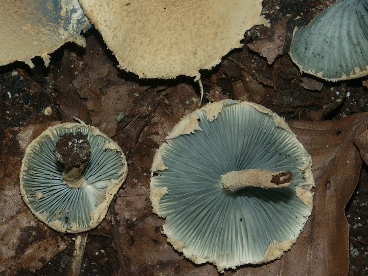 Melanophyllum eyrei
