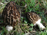 Morchella esculenta