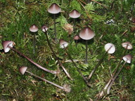 Mycena purpureofusca