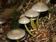 Mycena viscosa