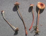 Mycena crocata