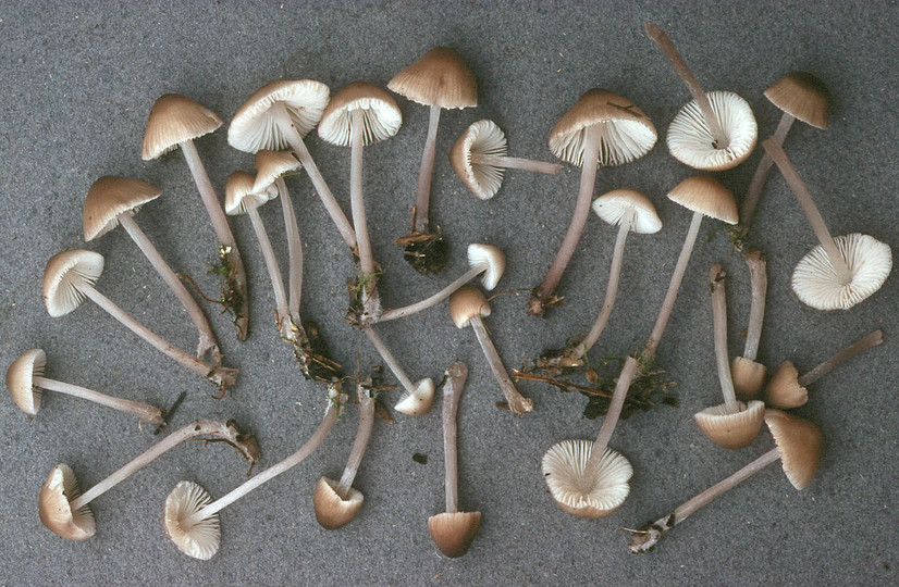 Mycena zephirus