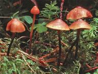 Mythicomyces corneipes