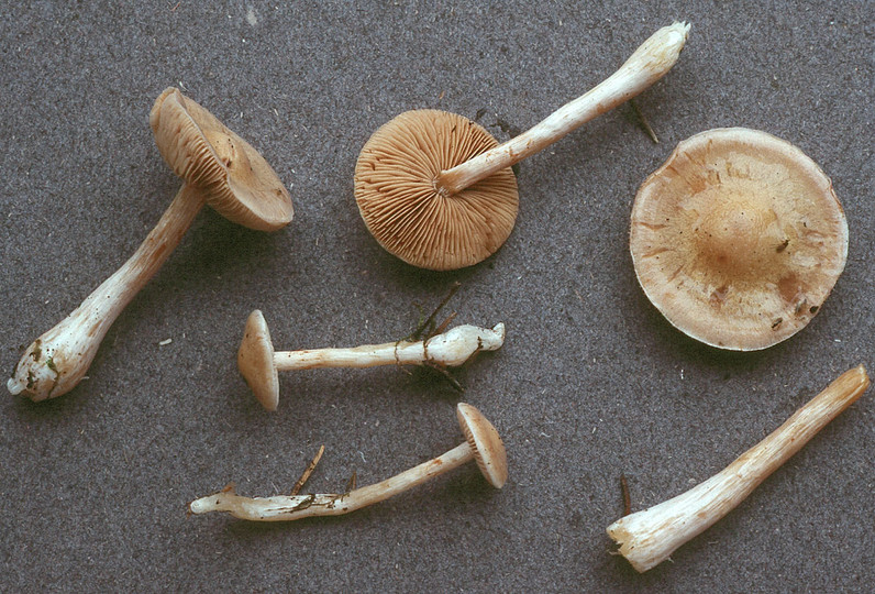 Cortinarius eburneus