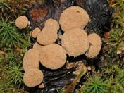 Nyctalis asterophora