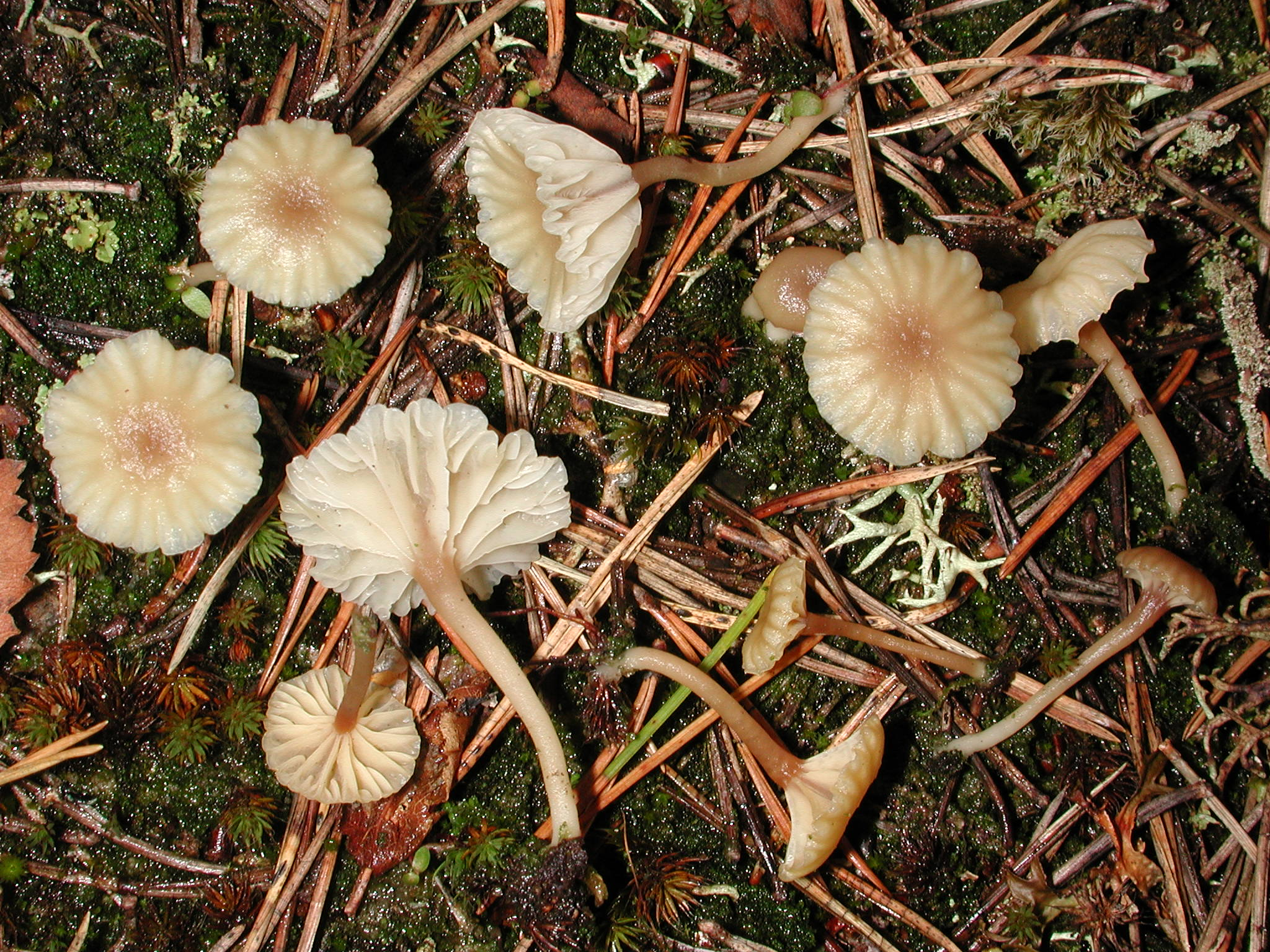 Omphalina ericetorum