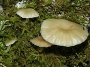 Omphalina grossula