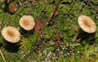 Omphalina ericetorum