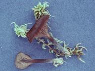 Omphalina fusconigra