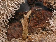 Onygena corvina