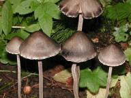 Panaeolus sphinctrinus