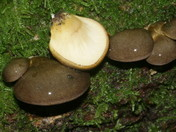 Panellus serotinus