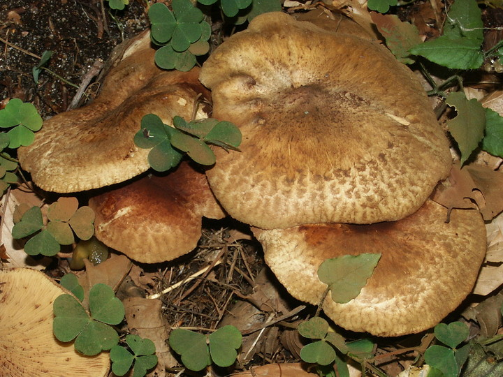 Paxillus filamentosus