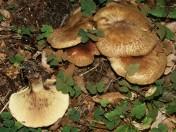 Paxillus filamentosus