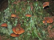 Paxillus atrotomentosus