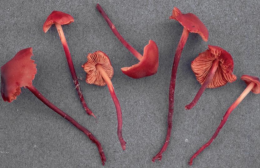 Phaeocollybia jennyae