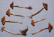 Phaeogalera medullosa