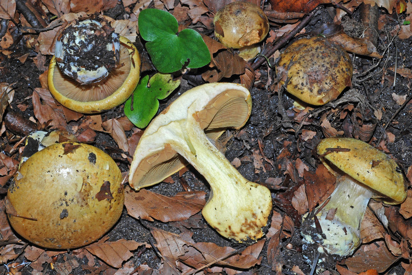 Cortinarius citrinus
