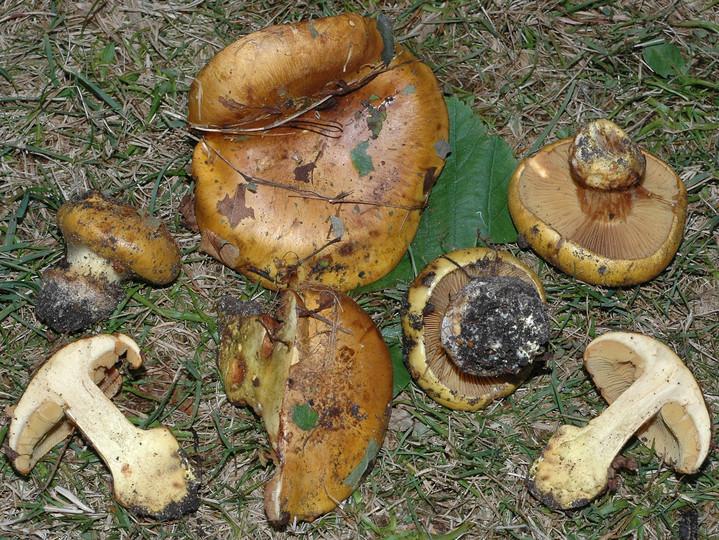 Cortinarius alcalinophilus