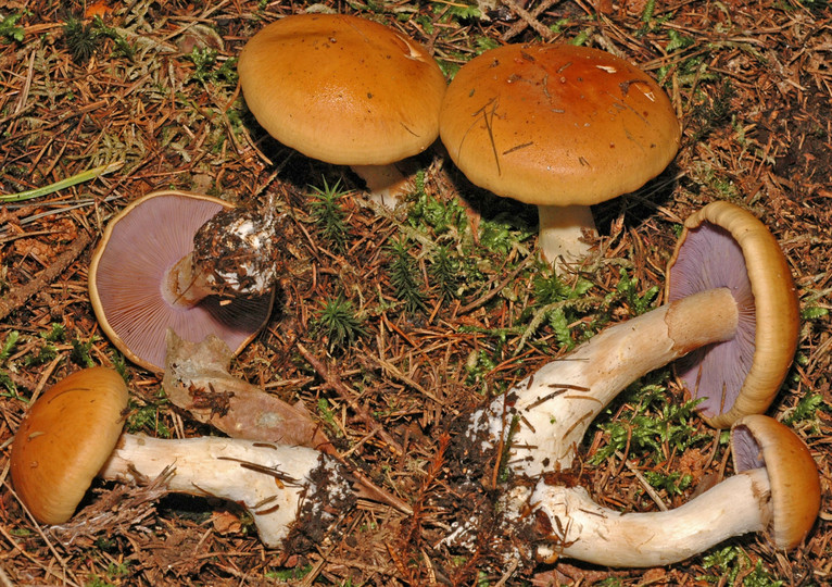 Cortinarius varius