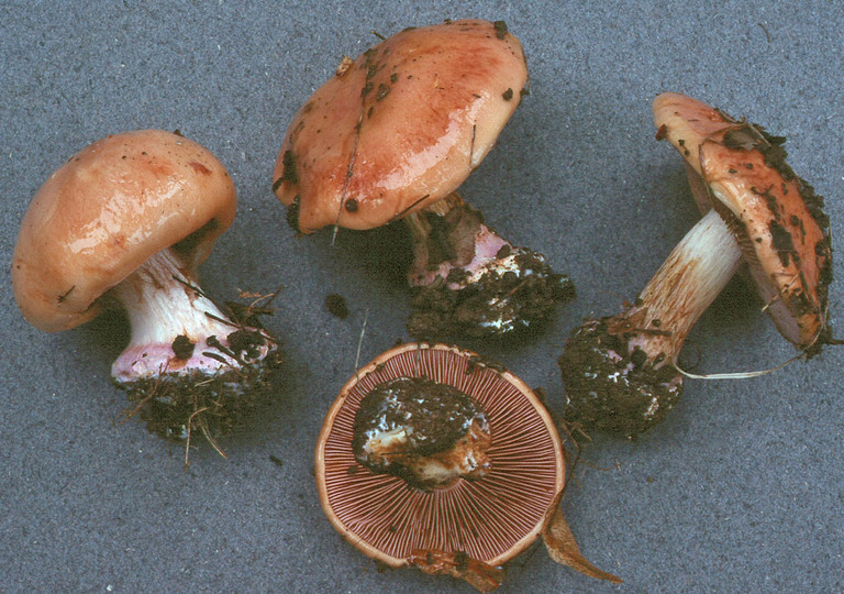 Cortinarius arcuatorum