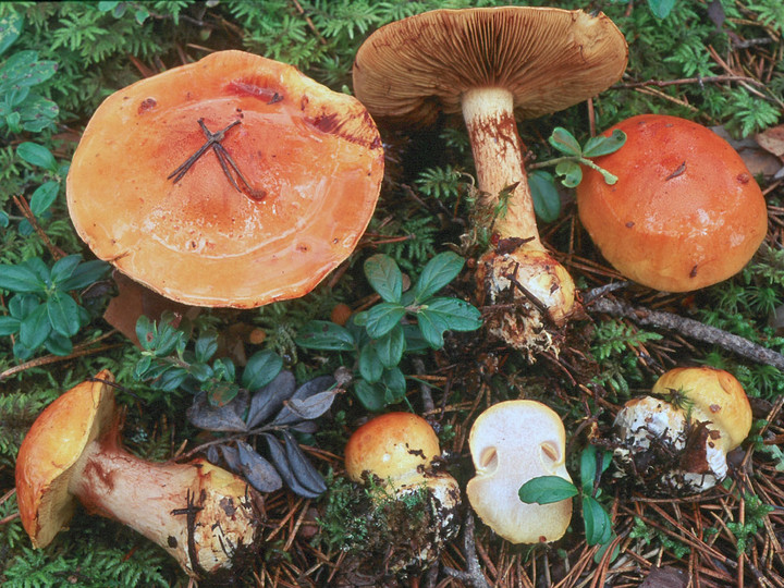 Cortinarius aureofulvus