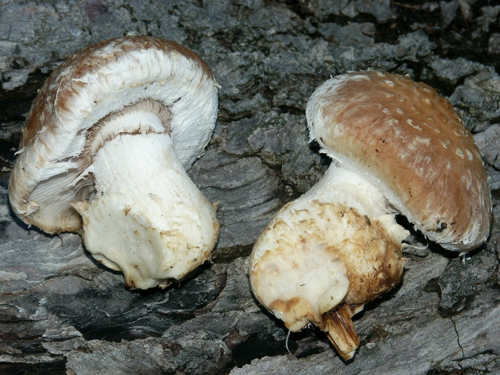 Pholiota destruens