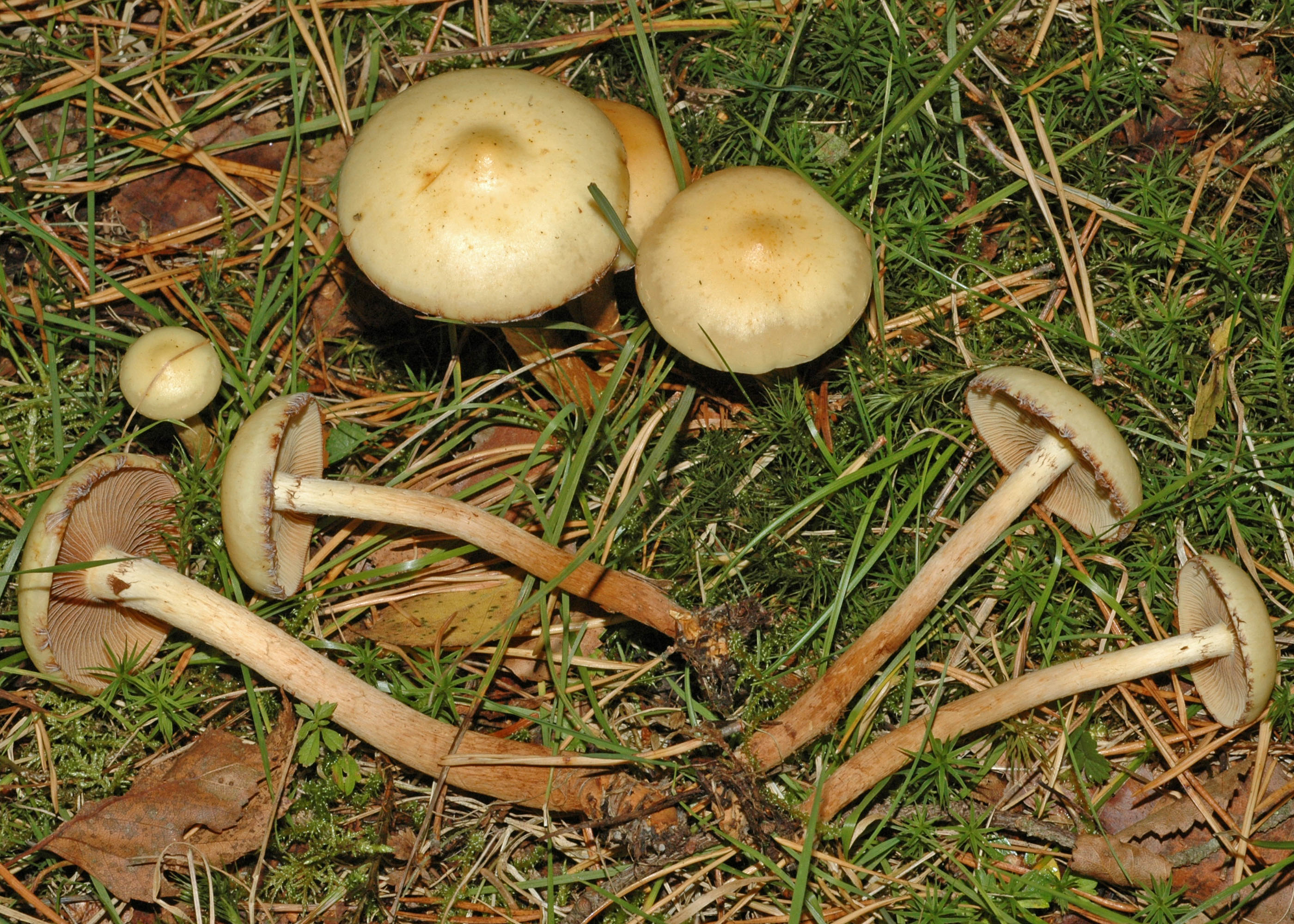Pholiota alnicola